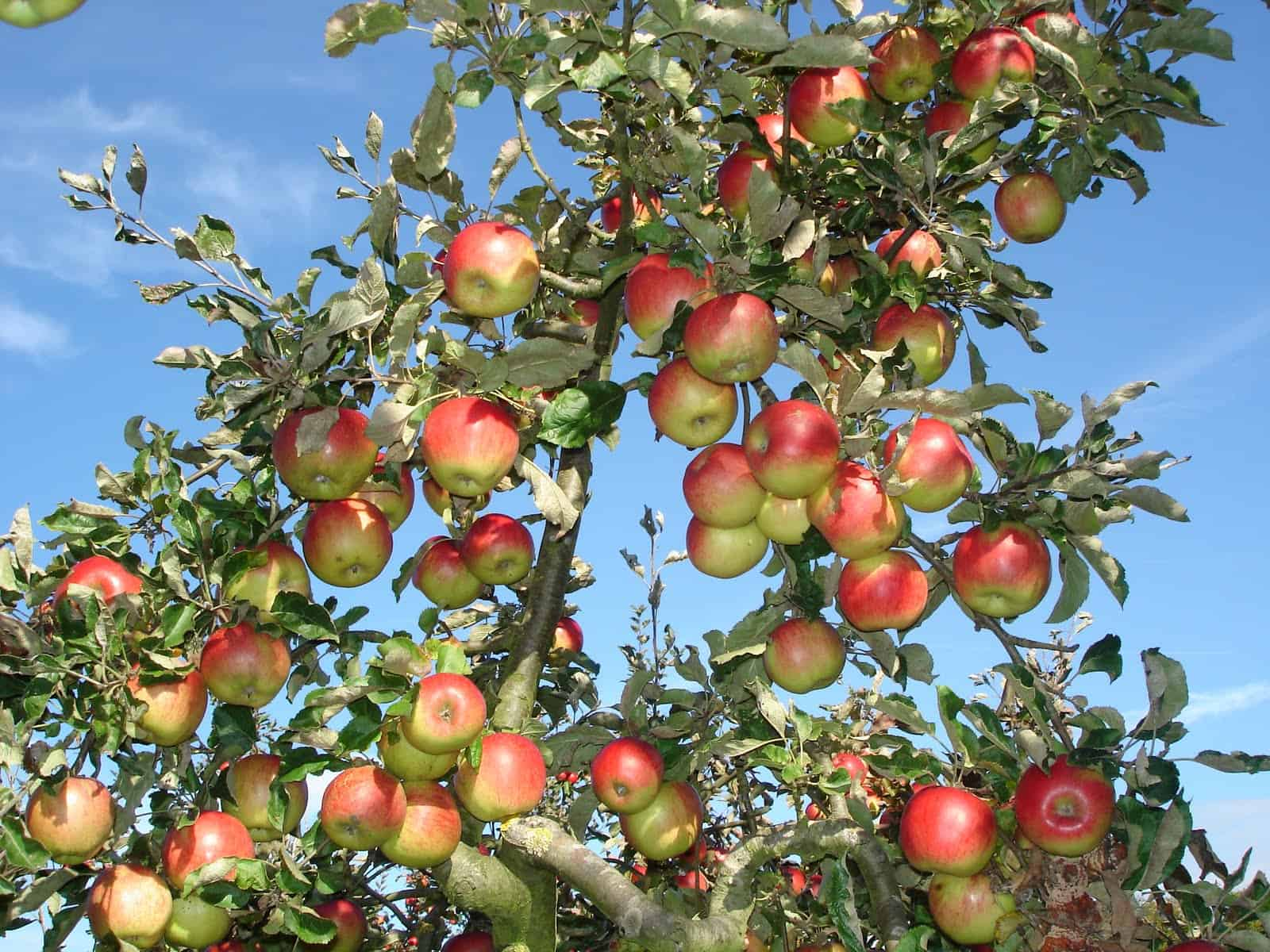An Apple A Day | DRAM Scotland